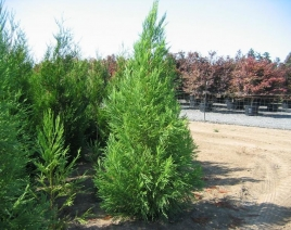 ´Yoshino´ Japanese Cedar