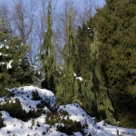 Trio in Winter Snow (Hidden Lake Gardens)