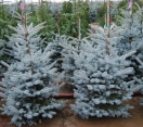 ´Copeland´ Colorado Blue Spruce