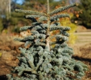´Glauca´ Noble Fir