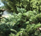 ´Spreading Star´ Pacific Silver Fir