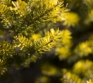 ´Aurea´ Korean Fir