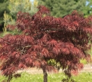 ´Garnet´ Japanese Maple