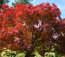 ´Bloodgood´ Japanese Maple