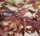 ´Boskoop Glory´ Japanese Maple
