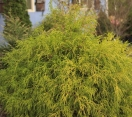´Golden Mops´ Sawara Cypress