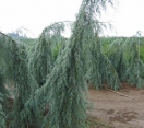 ´Raywood Weeping´ Arizona Cypress