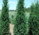 ´Cupressina´ Norway Spruce