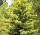 ´Sulfurea´ Arizona Cypress