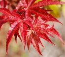 ´Fireglow´ Japanese Maple