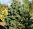 ´Oregon Green´ Austrian Pine