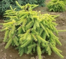 ´Aurea Jacobsen´ Norway Spruce
