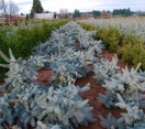 ´Deitz Prostrate´ Colorado Blue Spruce