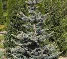´Continental´ Colorado Blue Spruce