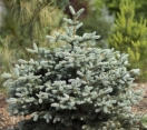 ´Egyptian Pyramid´ Colorado Spruce
