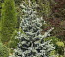 ´Koster´ Colorado Blue Spruce