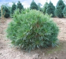 ´Horsford´ Eastern White Pine