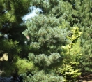´Gimborn´s Ideal´ Japanese White Pine