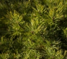 ´Verkade´s Broom´ Eastern White Pine
