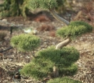 ´Poodled´ Scotch Pine