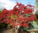 ´Red Spider´ Japanese Maple