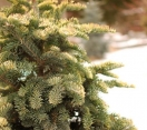 ´Aurea Sherwoodi´ Noble fir