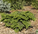 ´Beaujean´ Canadian Hemlock