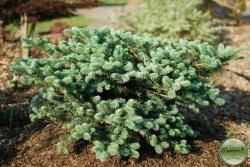 ´Blauer Pfiff´ Korean fir