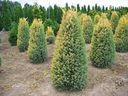 ´Gold Cone´ Common Juniper