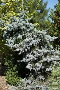 ´Weeping´ Blue Colorado Spruce