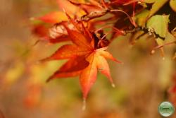´Glowing Embers´ Japanese Maple
